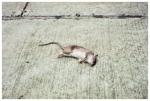 Dead, Rat, Clinton Hill, Death,May13