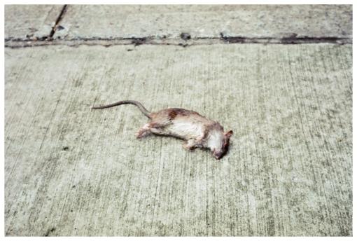 Dead, Rat, Clinton Hill, Death, May13