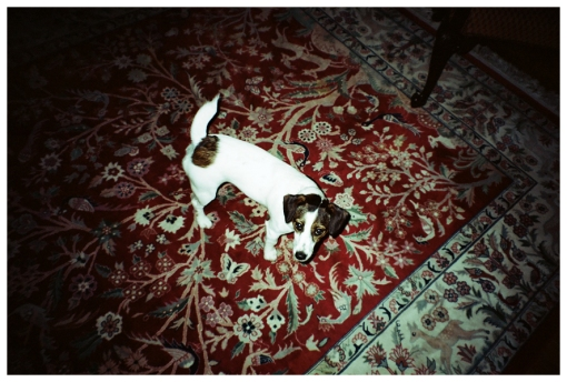 Dog, Stalking, Oriental Rug, Upstate, May13