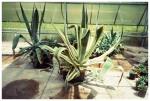 Aloe Plant, Marvin's Organic Garden, Ohio,Jun13