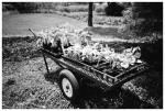 Marvin's Farms, Wagon of Greens,Jun13