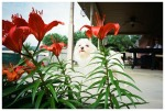 Pipper, Red Lillies, Ohio, Jun13