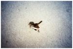Pressed dead bird, Clinton Hill,Oct13