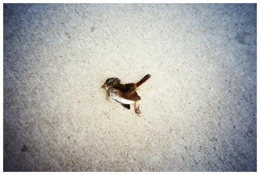 Pressed dead bird, Clinton Hill, Oct13