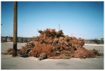 Dead Xmas Trees, Far Rockaway, Expired Film,Apr14