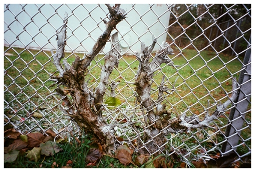 Fence Tree, Kingston, Oct15